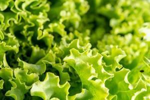 Nahaufnahme von frischem, saftig-grünem Blattsalat