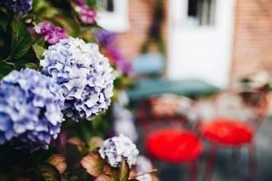 Nahaufnahme von Hortensien. Gartencafé im Hintergrund