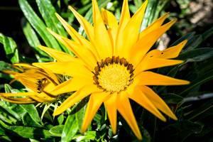 Nahaufnahme von leuchtend gelben Blumen