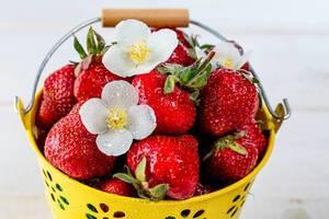 Nahaufnahme von reifen Erdbeeren, dekoriert mit weißen Blüten, in einem gelben Eimerchen mit Tragegriff