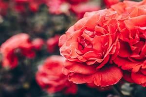 Nahaufnahme von roten Rosen in einem Garten