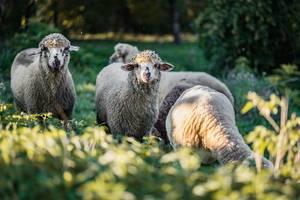 Nahaufnahme von Schafen die in die Kamera schauen