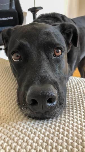 Nahaufnahme von schwarzem Hund, der in die Kamera guckt