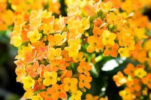 Nahaufnahme von Strauch mit gelben und orangen Blüten vor grünen Blättern mit Schärfentiefe