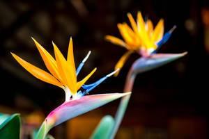 Nahaufnahme von Strelitzie, auch Paradiesvogelblume oder Papageienblume genannt