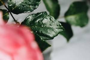 Nahaufnahme von Wassertropfen auf Blättern einer Blume
