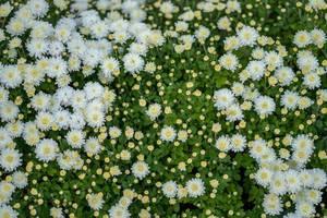 Nahaufnahme von weißen Blumen im Hof