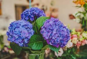 Nahaufnahme zeigt blaue Hortensien mit grünen Blättern in einer Glasvase