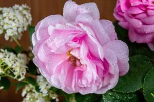 Nahaufnahme zeigt eine Teerose mit Wassertropfen auf ihren rosa Blütenblättern