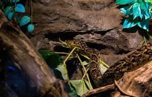 Netzpython, eine der größten Schlangen der Welt, im Tropicarium in Budapest