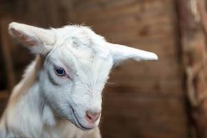 Newborn goat in the goat farm