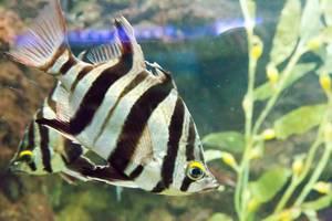 Old wife (Enoplosus armatus) at Shedd Aquarium