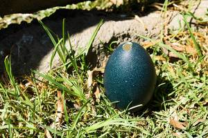 Open emu egg on the grass