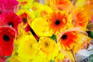 Orange and yellow gerbera flowers