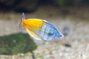 Orangeback rainbowfish (Melanotaenia boesemani) at Shedd Aquarium