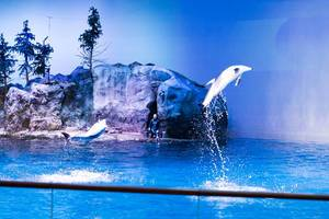 Pacific white-sided dolphins jumping out of the water - Shedd Aquarium, Chicago