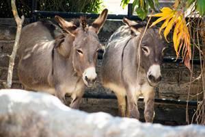 Pair of donkeys standing still under the shade