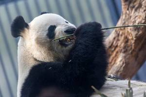 Panda Bear Riri eating bambus stick