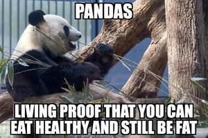 Pandas: living proof that you an eat healthy and still be fat