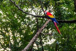 Papagei der Art roter Ara sitzt auf Ast