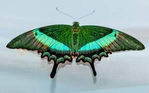 Papilio PALINURUS butterfly