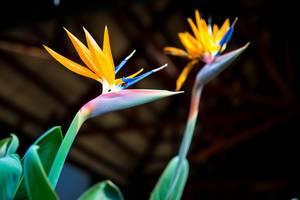 Paradiesvogelblume (Strelitzie) vor dunklem Hintergrund