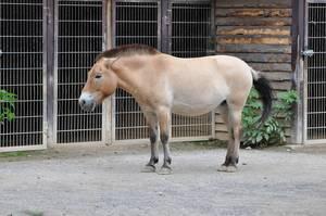 Pferd mit gekürztem Schopf im Kölner Zoo