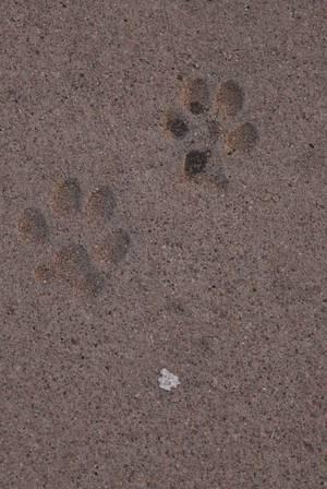 Pfotenabdrücke eines Hundes im Sand