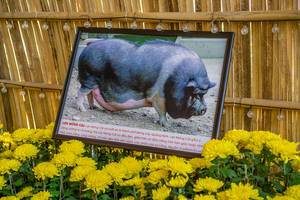 Picture of a Pig with Description at the Flower Street in Ho Chi Minh City