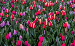 Pink and purple tulips in Keukenhof garden in Amsterdam