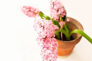 Pink hyacinth flower in ceramic pot on white background (Flip 2019)