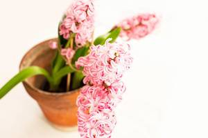 Pink hyacinth flower in ceramic pot on white background