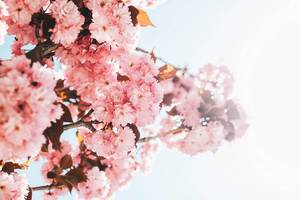 Pink spring flowers in a tree. Spring.