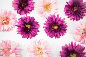 Pinke und lila Blumen blühen vor weißem Hintergrund