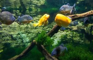 Piranha and Yellow Puffer fishes in Tropicarium Budapest