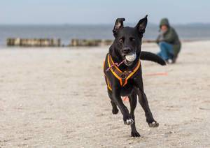 Playful black dog plays Fetch with a ball toy on a white beach