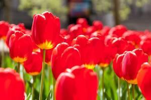 Poppies at Bowling Green New York