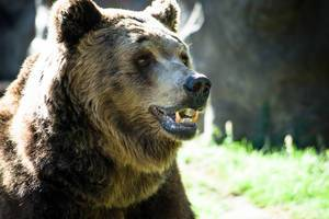 Portrait eines Braunbären