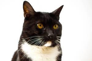 Porträt einer schwarzen Katze mit weißem Hals und Kinn vor weißem Hintergrund