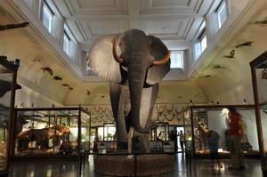 Präparierter Elefant im Naturhistorischen Museum in Göteborg