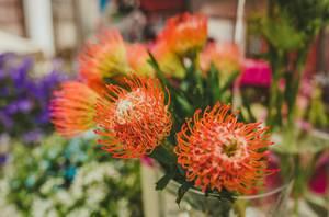 Protea Caffra Flower Botancial Clsoe Up (Flip 2019)