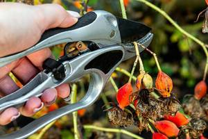 Pruning a rose Bush with a pruner close up (Flip 2019)