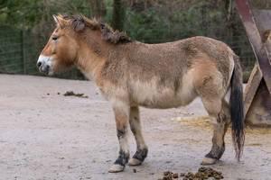 Przewalskipferd im Kölner Zoo