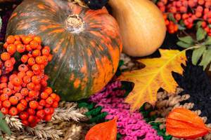 Pumpkins, spikelets of wheat and Rowan on a colorful multi-colored knitted blanket. Thanksgiving background