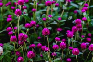 Purple flowers growing in a small garden (Flip 2019)