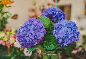 Purple Hydrangea Flowers Close Up  (Flip 2019)