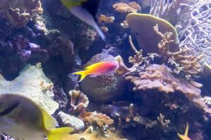 Purple Queen Anthias (Pseudanthias pascalus) female at Shedd Aquarium