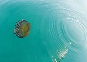 Qualle gleich unter der Wasseroberfläche