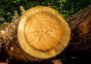 Querschnitt eines Baumes - Erkennung der Jahresringe