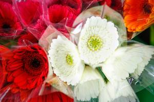 Red and white gerbera flowers